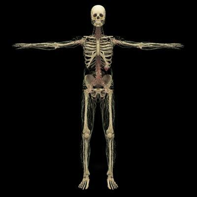 3D Rendering of Human Lymphatic System with Skeleton by Stocktrek Images