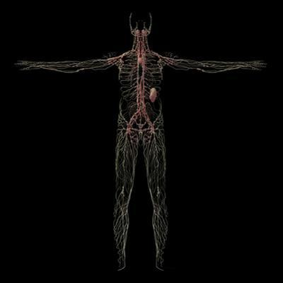 3D Rendering of Human Lymphatic System by Stocktrek Images