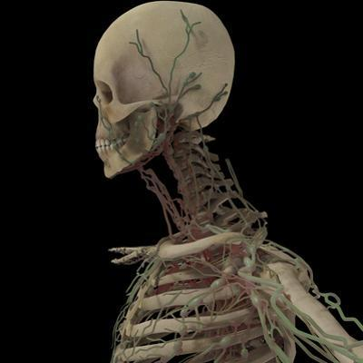 3D Rendering of Human Skull with Lymphatic System by Stocktrek Images