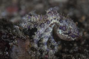 A Blue-Ringed Octopus Lings to the Seafloor in Lembeh Strait, Indonesia by Stocktrek Images