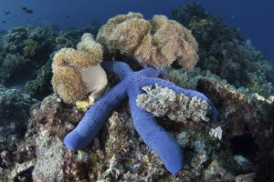 A Blue Starfish Clings to a Coral Reef in Indonesia by Stocktrek Images