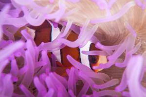 A Clark's Anemonefish Snuggles Amongst its Host's Tentacles by Stocktrek Images