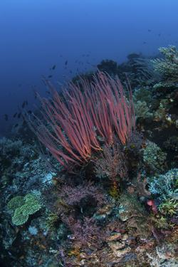 A Colony of Sea Whips Grows on a Coral Reef in Indonesia by Stocktrek Images