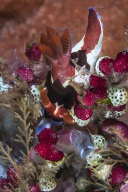 A Colorful Nudibranch Eeds on Tunicates by Stocktrek Images