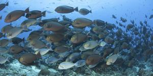 A Dense School of Yellowmask Surgeonfish, Indonesia by Stocktrek Images