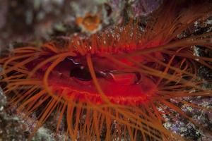 A Disco Clam on a Reef Near the Island of Sulawesi, Indonesia by Stocktrek Images