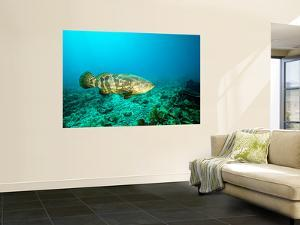 A Goliath Grouper Effortlessly Floats by a Shipwreck Off the Coast Key Largo, Florida by Stocktrek Images
