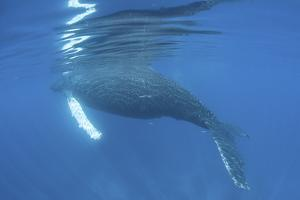 A Humpback Whale Surfaces to Breathe by Stocktrek Images