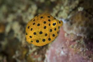 A Juvenile Yellow Boxfish Swims Above the Seafloor by Stocktrek Images