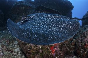 A Large Black-Blotched Stingray Swims over the Rocky Seafloor by Stocktrek Images