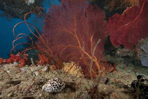 A Large Red Gorgonian Sea Fan and Tiger Cowrie in Waters Off Fiji by Stocktrek Images
