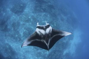A Large Reef Manta Ray Swims Through Clear Water in Raja Ampat by Stocktrek Images