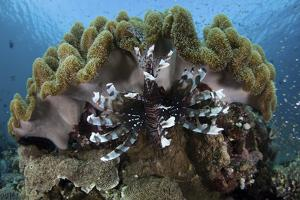A Lionfish Swims on a Reef in Komodo National Park, Indonesia by Stocktrek Images