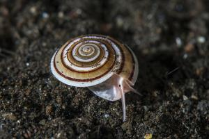A Live Sundial Shell Crawls across the Seafloor by Stocktrek Images
