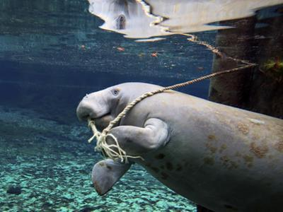 A Manatee Chews on a Dock Rope in Fanning Springs State Park, Florida by Stocktrek Images