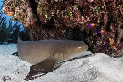 A Nurse Shark Rests on the Seafloor of Turneffe Atoll by Stocktrek Images