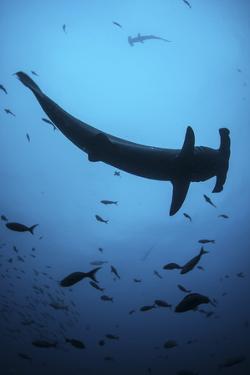 A Scalloped Hammerhead Shark Swims Near Cocos Island, Costa Rica by Stocktrek Images