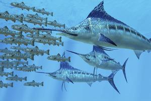 A School of Amemasu Fish Try to Evade Three Large Marlin Predators by Stocktrek Images