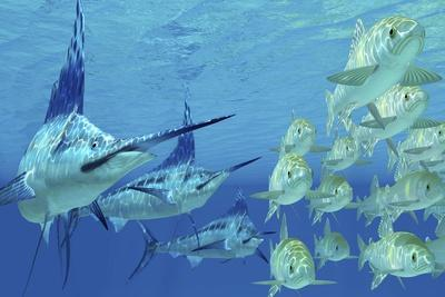 A School of Ayu Fish Try to Escape from Three Carnivorous Blue Marlins