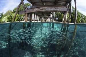 A School of Silversides Beneath a Wooden Jetty in Raja Ampat, Indonesia by Stocktrek Images