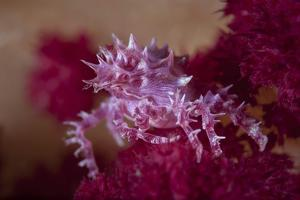 A Soft Coral Crab Blends into its Host Coral Colony by Stocktrek Images