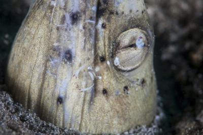 A Tiny Cleaner Shrimp Removes Parasites from a Black-Finned Snake Eel
