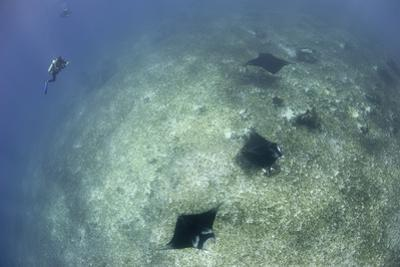 A Trio of Reef Manta Rays Swimming Above a Reef Top
