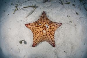 A West Indian Starfish on the Seafloor in Turneffe Atoll, Belize by Stocktrek Images