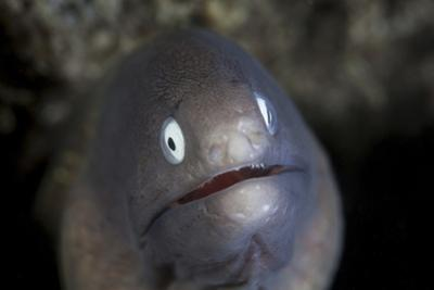 A White-Eyed Moray Eel Looks Out from a Reef Crevice