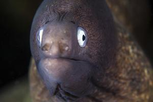 A White-Eyed Moray Eel by Stocktrek Images