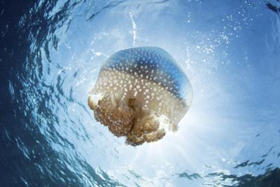 A white-spotted jellyfish drifts in a strong current in the Lesser Sunda Islands by Stocktrek Images
