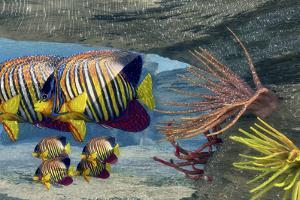 Adult Royal Angelfish Parents Guarding their Young by Stocktrek Images