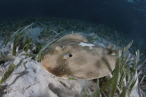 An Electric Ray on the Seafloor of Turneffe Atoll Off the Coast of Belize by Stocktrek Images