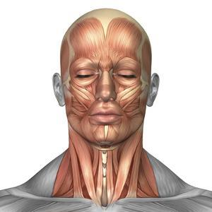 Anatomy of Human Face And Neck Muscles, Front View by Stocktrek Images