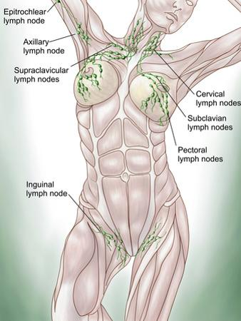 Anatomy of Superficial (Surface) Lymphatics by Stocktrek Images