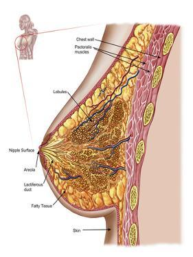 Anatomy of the Female Breast by Stocktrek Images