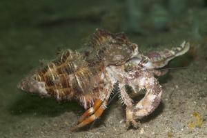 Anemone Hermit Crab Running across Sand in Green Light by Stocktrek Images