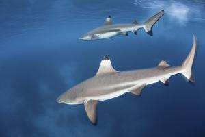 Blacktip Reef Sharks Swim Just under the Surface in the Solomon Islands by Stocktrek Images