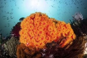 Bright Orange Cup Corals Grow on a Vibrant Reef in Indonesia by Stocktrek Images