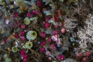 Colorful Tunicates Grow Among Coral Polyps by Stocktrek Images