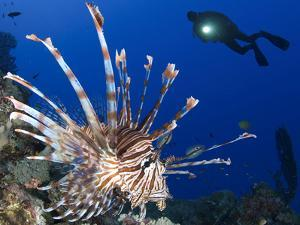 Common Lionfish with Diver in Background, Solomon Islands by Stocktrek Images