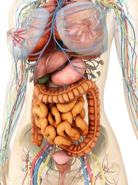 Female Body Showing Digestive And Circulatory System by Stocktrek Images