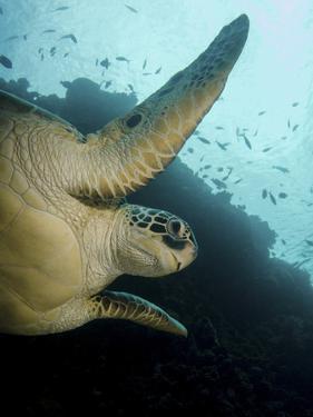 Green Turtle, Bunaken Marine Park, Indonesia by Stocktrek Images