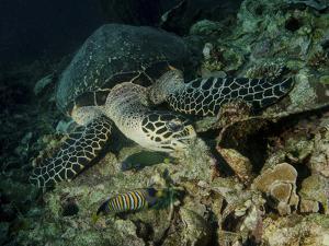 Hawksbill Sea Turtle Feeding, Bunaken Marine Park, Indonesia by Stocktrek Images