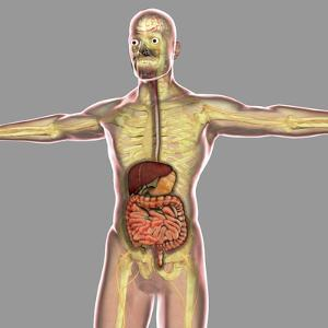 Human Digestive System by Stocktrek Images