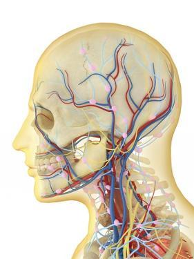 Human Face and Neck Area with Nervous System, Lymphatic System and Circulatory System by Stocktrek Images