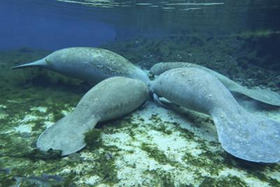 Manatees Congregate to Feed on Algae at Fanning Springs State Park, Florida by Stocktrek Images