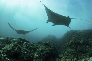 Manta Rays Swims Through a Current-Swept Channel in Indonesia by Stocktrek Images