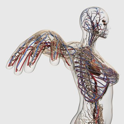 Medical Illustration of Arteries, Veins And Lymphatic System in Female Chest Area by Stocktrek Images