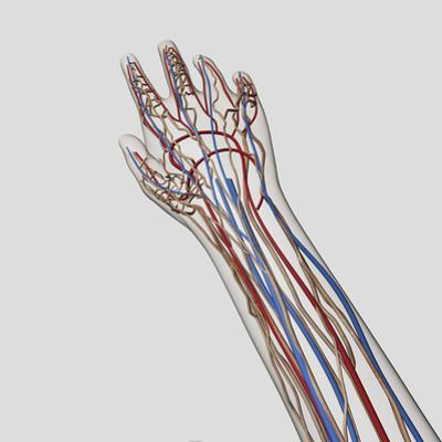 Medical Illustration of Arteries, Veins And Lymphatic System in Hand And Arm by Stocktrek Images